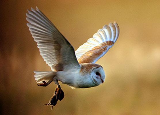 Barn Owl Taking Off In hot climates  barn owl